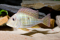 yellow bar geophagus, family: Cichlidae, Geophagus altifrons, freshwater, range: South America ( c )