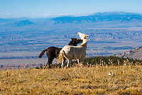 Pyor Mountain wild horse colts play with one another play on the plateau with Wyoming off in the distance.