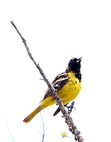 Immature male Scott's oriole singing