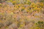Mopane (Colophospermum mopane) woodland, Kruger National Park, South Africa