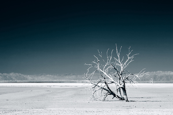 Lone tree in dry lake bed at the Red Hill Marina, Salton Sea, CA