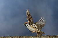 Feldspatz, im Flug, fliegend, Flugbild, Feld-Spatz, Feldsperling, Feld-Sperling, Spatz, Spatzen, Sperling, Passer montanus, tree sparrow, flight, flying, sparrows, Le Moineau friquet