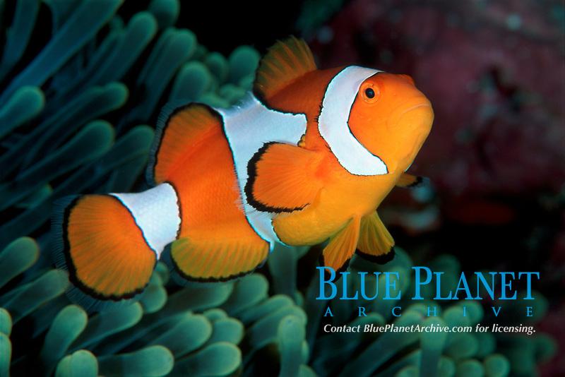 Western clown-anemonefish, Amphiprion ocellaris, Onemoba'a, Tomia, Kepulauan Wakatobi National park, Southeast Sulawesi, Indonesia, Banda Sea, Indian Ocean