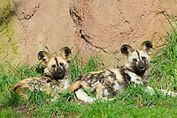 African Wild Dog (Lycaon pictus).(Woodland Park Zoo, Seattle WA)