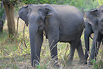 Asian Elephants