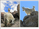 Mountain goats on Mt Evans, Colorado.