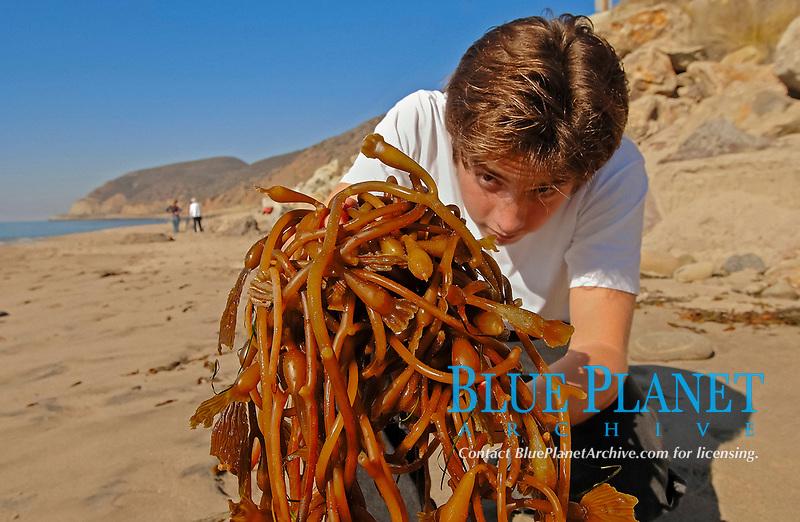 Boy on beach picks up handful of kelp, Macrocystis pyrifera, Deer Creek, California, USA, Pacific Ocean, MR
