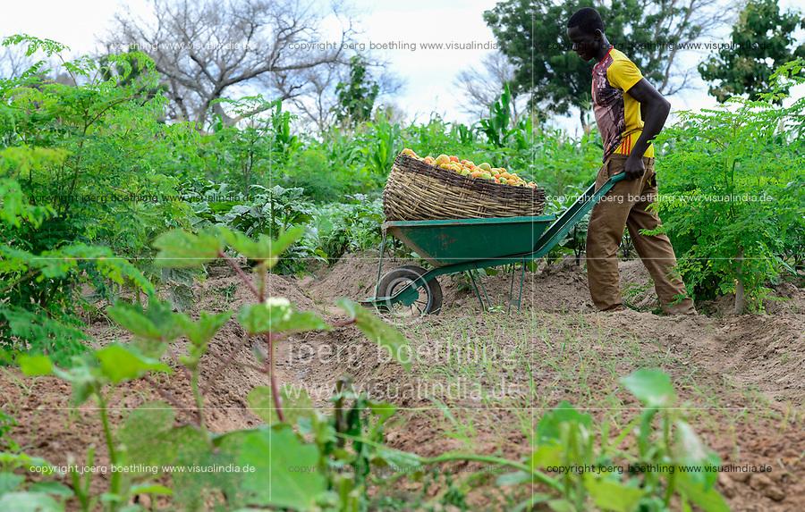 BURKINA FASO, Province Poni, Gaoua, vegetable farming in village / Gemueseanbau in einem Dorf, Tomatenernte