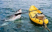 great white shark, Carcharodon carcharias, biting on kayak paddle, South Africa