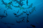Shark feed at North Horn, Osprey Reef. Mainly grey reef sharks (Carcharhinus amblyrhynchos)