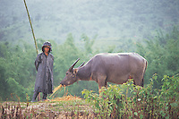 WATER BUFFALO: YUNNAN PROVINCE, CHINA<br /> A water buffalo and farmer stand in the rain in Yunnan, China. Agricultural workers are coming under increasing pressure following the opening of China's markets after WTO entry. <br /> Photo by Sinopix<br /> ©sinopix