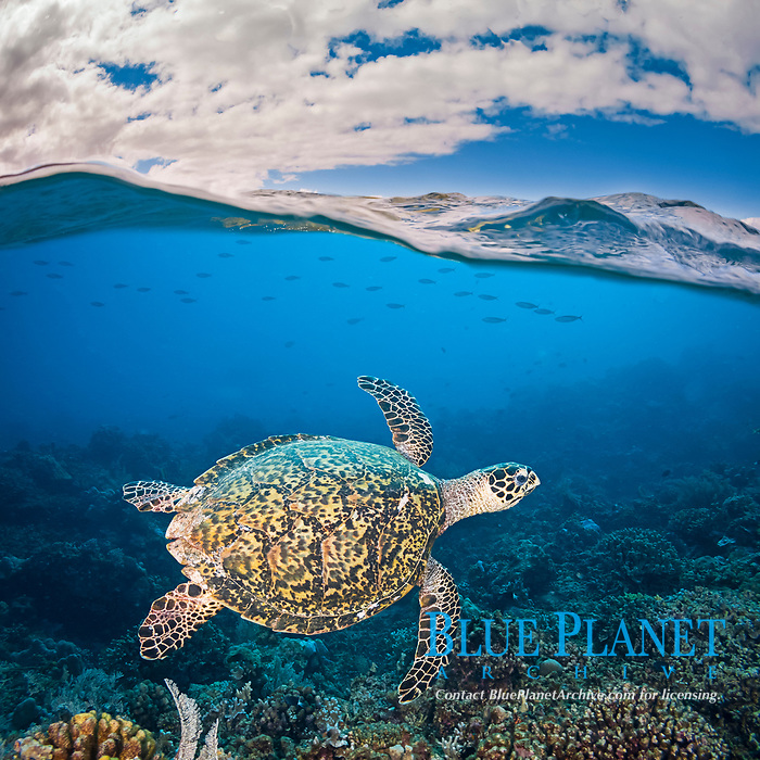 split view, an endangered species, hawksbill turtles, Eretmochelys imbricata, are a common sight on Tubbataha Reef, Philippines, Pacific Ocean (dc)