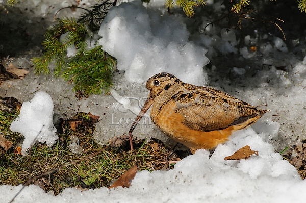 American Woodcock - Scolopax minor - catches earthworm. An upland shorebird that uses its long bill to probe the forest floor for food.  Snow still in forest greets Spring migrant  in Nova Scotia, Canada.