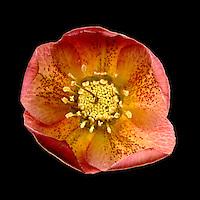 Hellebore  -  'hellebores orientalis' - variety 'Phedar'