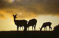 Rothirsch, Rot-Hirsch, Rotwild, Edelwild, Edelhirsch, Hirsch, Cervus elaphus, red deer