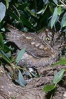 Zwergohreule, Zwergohr-Eule, Otus scops, scops owl, scops-owl