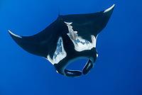 giant oceanic manta ray, Mobula birostris, formerly Manta birostris, with remora, Echeneida sp., Socorro Island, Revillagigedo Islands, Mexico, Pacific Ocean