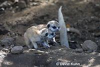 0329-1013  Meerkat Babies (Pups), Suricata suricatta  © David Kuhn/Dwight Kuhn Photography.
