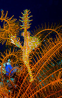 ornate ghost pipefish, harlequin ghost pipefish, Solenostomus paradoxus, being camouflaged among crinoids, Anilao, Philippines, Pacific Ocean