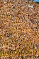 Graphic geometric vineyard with vines trained in 'en echalat' with supporting wooden stakes, winter pruned with no branches or leaves. Sign De Boisseyt in the background. Very steep hill slope. Terraced vineyards in the Cote Rotie district around Ampuis in northern Rhone planted with the Syrah grape. Ampuis, Cote Rotie, Rhone, France, Europe