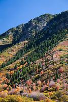 Autumn Fall Colors Unita National Forest Utah UT America US USA