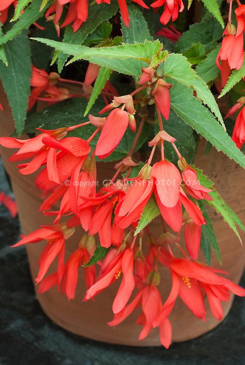 Begonia (Million Kisses) 'Devotion' aka Yadev in pot container