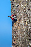 Male yellow-bellied sapsucker exiting the nest cavity in northern Wisconsin.