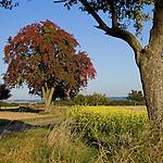 Europa, DEU, Deutschland, Rheinland Pfalz, Naturpark Saar-Hunsrueck, Typische Landschaft, Agrarlandschaft, Obstbaeume, Feld, Acker, Anbau, Senf, Herbstfarben, Baumverfaerbung, Kategorien und Themen, Natur, Umwelt, Landschaft, Jahreszeiten, Stimmungen, Landschaftsfotografie, Landschaften, Landschaftsphoto, Landschaftsphotographie, Naturschutz, Naturschutzgebiete, Landschaftsschutz, Biotop, Biotope, Landschaftsschutzgebiete, Landschaftsschutzgebiet, Oekologie, Oekologisch, Typisch, Landschaftstypisch, Landschaftspflege....[Fuer die Nutzung gelten die jeweils gueltigen Allgemeinen Liefer-und Geschaeftsbedingungen. Nutzung nur gegen Verwendungsmeldung und Nachweis. Download der AGB unter http://www.image-box.com oder werden auf Anfrage zugesendet. Freigabe ist vorher erforderlich. Jede Nutzung des Fotos ist honorarpflichtig gemaess derzeit gueltiger MFM Liste - Kontakt, Uwe Schmid-Fotografie, Duisburg, Tel. (+49).2065.677997, ..archiv@image-box.com, www.image-box.com]