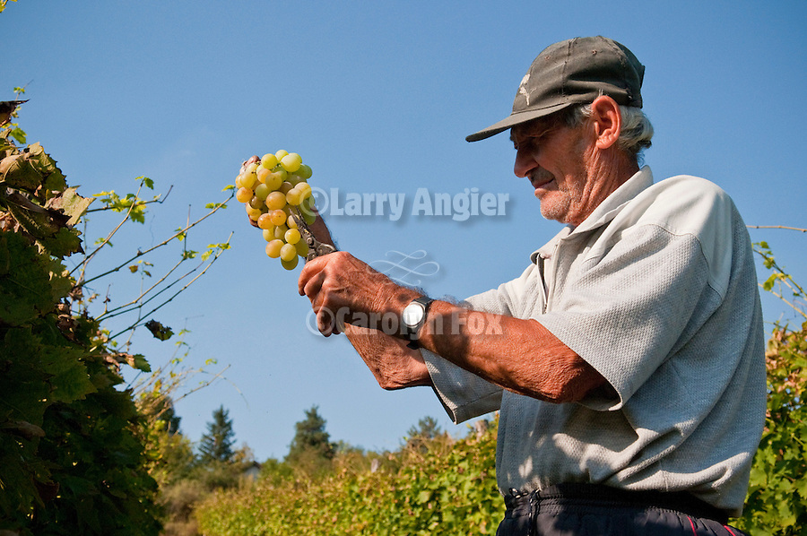 A farmer harvests and trims Muscat grapes for sale at a greenmarket in a vineyard near Groka, Serbia.