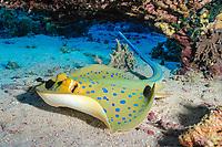 Blue-spotted ray, Taeniura lymma, Saint John's reef, Red Sea, Egypt, Northern Africa