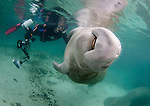 Manatee asking for a belly rub interaction with a diver