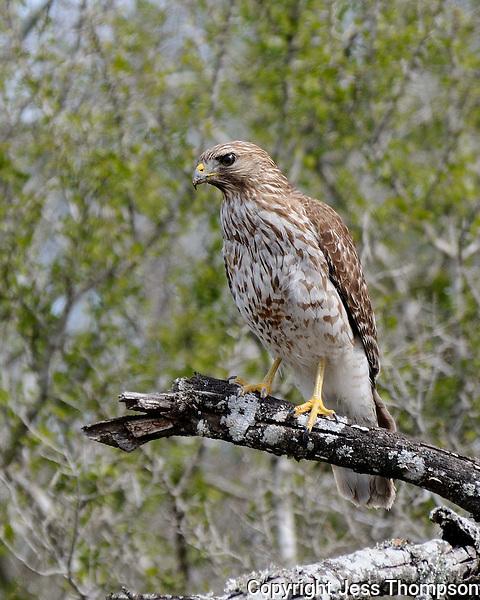 Immatrure Red-tailed Hawk