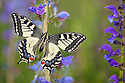 Common Swallowtail butterfly {Papilio machaon} resting on Viper's Bugloss / Blueweed {Echium vulgare} in alpine meadow. Nordtirol, Tirol, Austrian Alps, Austria, 1700 metres altitude, July.