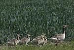 Foto: VidiPhoto<br /> <br /> ELST – Grauwe ganzen met hun jongen hebben in het Betuwse Elst, langs de Linge een nieuw buffet gevonden: de jonge maïsplanten van een melkveehouder. De maïs is inderdaad bestemd als veevoer, maar dan voor koeien, niet voor ganzen. De maïs is bedoeld als wintervoorraad. De overzomerende ganzen hebben inmiddels gezorgd voor een flinke aanwas in het rivierengebied. Overzomerende ganzen (zo'n 600.000) veroorzaken met name schade aan pas ingezaaide gewassen en grasland. 's Winters verblijven er ruim 3 miljoen ganzen in ons land.