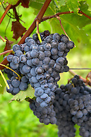 Bunches of ripe grapes. Cabernet Franc. Chateau Belle-Garde, Bordeaux, France