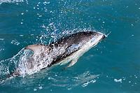 Dusky dolphin, Lagenorhynchus obscurus, Kaikoura Pennisula, South Island, New Zealand, Pacific Ocean