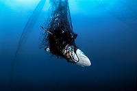 Silky shark, Carcharhinus falciformis, in drift gill net, Sea of Cortez, Mexico, Pacific Ocean