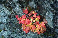 Unidentified plant in fall color in rock wall. Mt. Baker Wilderness. Washington