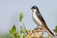 Tree swallow on willow tree