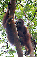 I was fortunate to see six wild orangutans during my visit to the Borneo Rainforest Lodge.  This male was eating tree bark, a behavior my guide had never witnessed before.