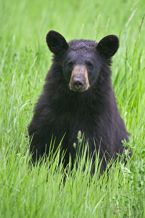 Black Bear sitting and watching in a field