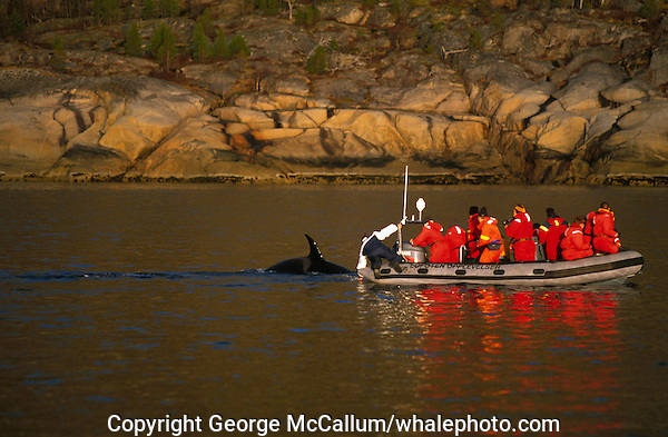 Killer whale, Orcinus orca, curious calf interacting with tourists in whale watching boat, Tysjord, Arctic Norway, North Atlantic