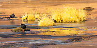 Giant coots surrounded by colorful Festuca Coiron bushes on ice, near El Tatio geysers, Atacama Desert Chile