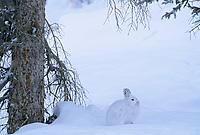Snowshoe hare in boreal forest near the Brooks Range, Alaska