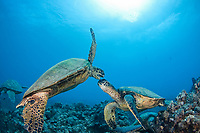 It appears that these two green sea turtles, Chelonia mydas, an endangered species, are having a disagreement Hawaii.