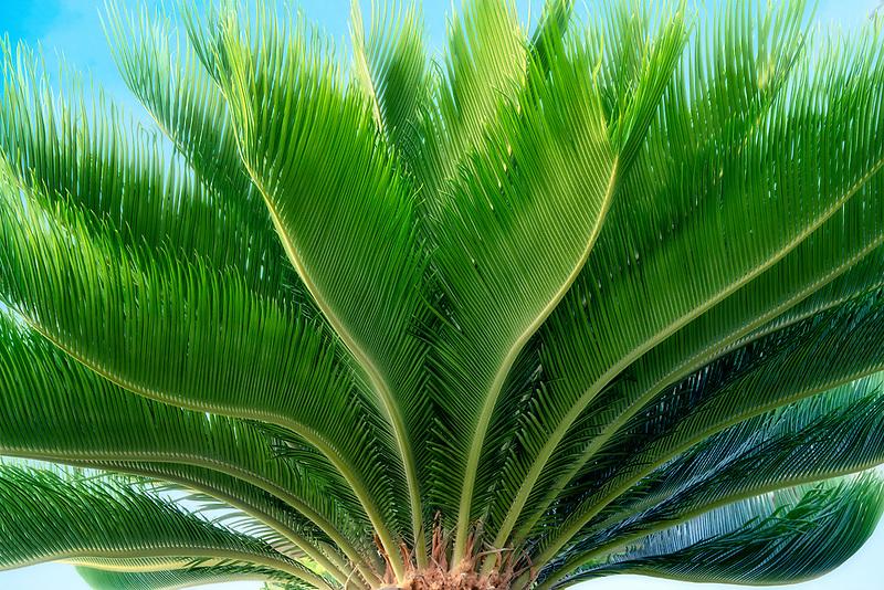 Close up of Sego Palm. Maui, Hawaii.