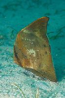 Orbicular batfish, Platax orbicularis, Puerto Galera, Mindoro, Philippines, Indo-Pacific Ocean