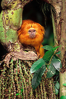 Golden Lion Tamarin (Leontopithecus rosalia).  Found mostly in eastern Brazil.