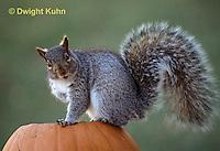 MA23-136z  Gray Squirrel - sitting on  carved Halloween pumpkin  - Sciurus carolinensis