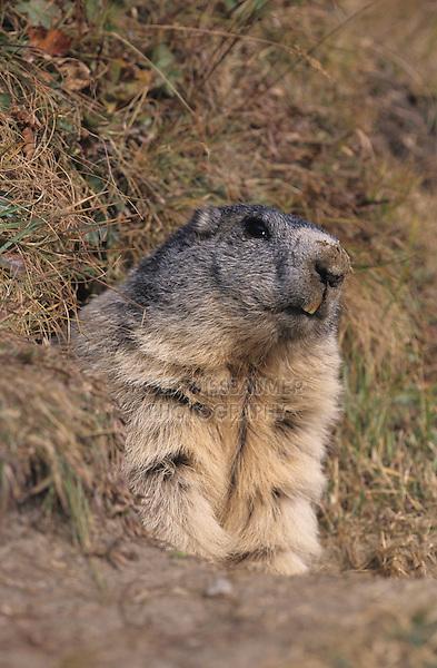 Alpine Marmot, Marmota marmota, adult looking out of burrow, Saas Fee, Switzerland, September 2003